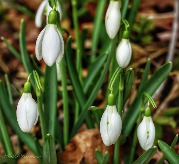 Wall Art - Photograph - Snowdrops In Spring by Kathi Isserman