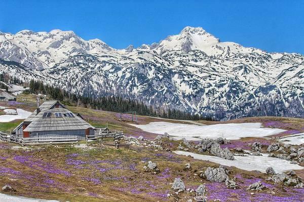 Wall Art - Photograph - Crocuses, Snow, And Alps by Egija Z