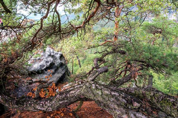 Photograph - Crooked Pine Tree. Bohemian Switzerland by Jenny Rainbow