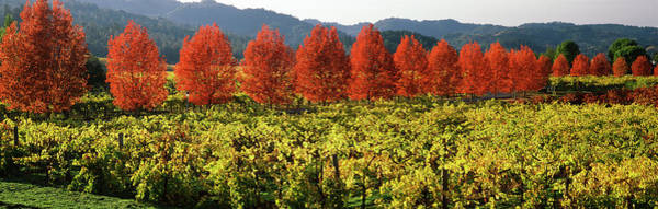 Wall Art - Photograph - Crop In A Vineyard, Napa Valley by Panoramic Images