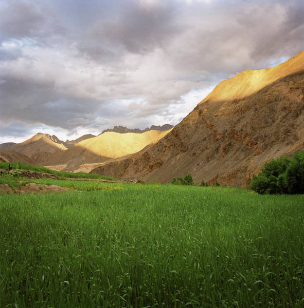 Wall Art - Photograph - Crops Growing In Ladakh Region Of by Cultura Exclusive/philip Lee Harvey