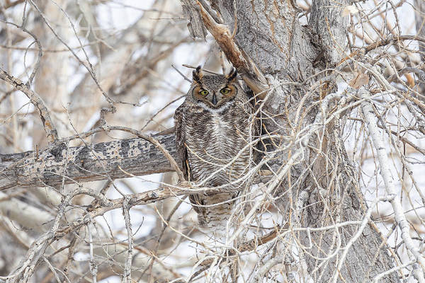 Photograph - Cross Eyed Great Horned Owl by Tony Hake