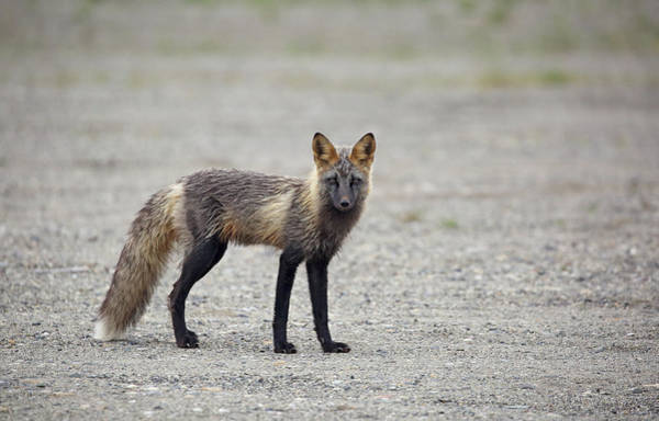 Photograph - Cross Fox In Alaska by Jean Clark