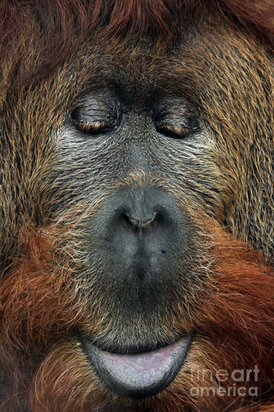 Wall Art - Photograph - Cross Hybrid Of The Sumatran Orangutan by Vladimir Wrangel