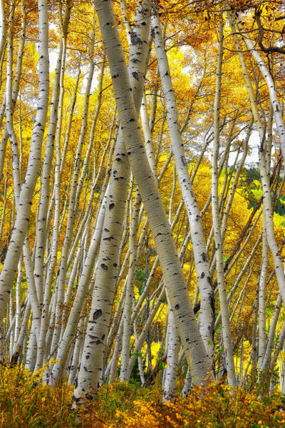 Crossed Aspens Art Print
