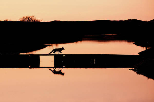 Wall Art - Photograph - Crossing The Bridge - Red Fox Silhouette by Roeselien Raimond