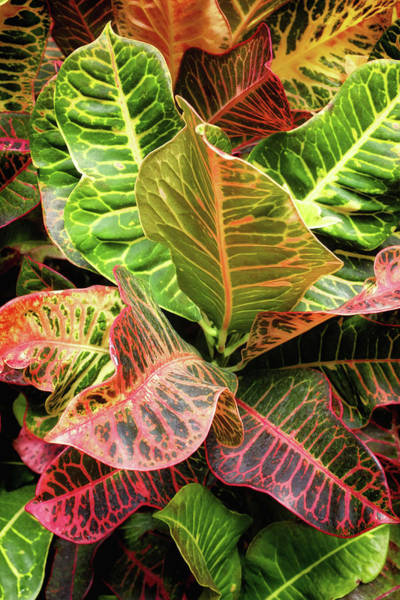 Wall Art - Photograph - Croton Leaves by Carlos Caetano