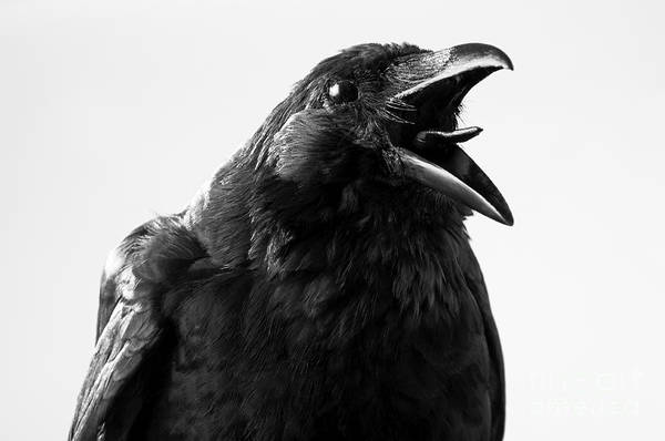 Crow In Studio Art Print