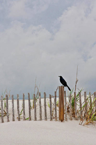 Fence Photograph - Crow On Dune Fence by Kelley Nelson