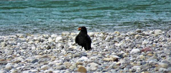 Photograph - Crow With A Stone by Joan Stratton
