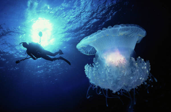 Underwater Diving Photograph - Crown Jellyfish Netrostoma by Pete Atkinson