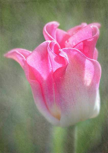 Photograph - Crown Of Dynasty - The Triumph Tulip by Teresa Wilson