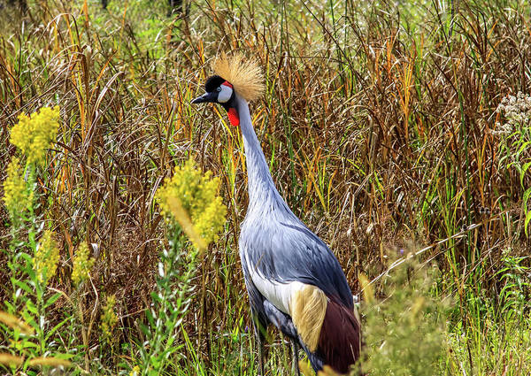 Photograph - Crowned Crane by Dawn Richards