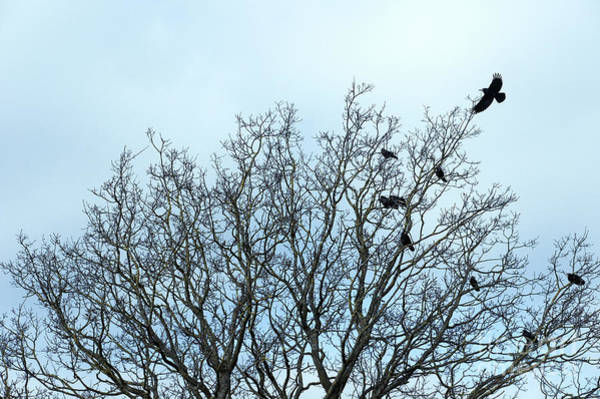 Wall Art - Photograph - Crows In A Tree by Tom Gowanlock
