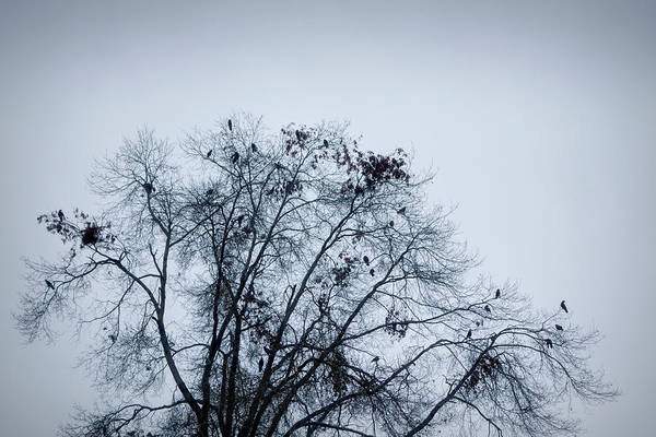 Crows Nest Wall Art - Photograph - Crows On A Barren Tree, Oakland by Panoramic Images