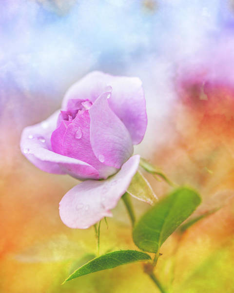 Photograph - Crying Rose by Jennifer Grossnickle