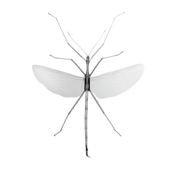 X Wing Photograph - Ctenomorphodes Tessulatus by Nick Veasey