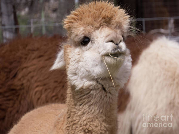 Photograph - Cuddly Light Brown Alpaca Face by Christy Garavetto