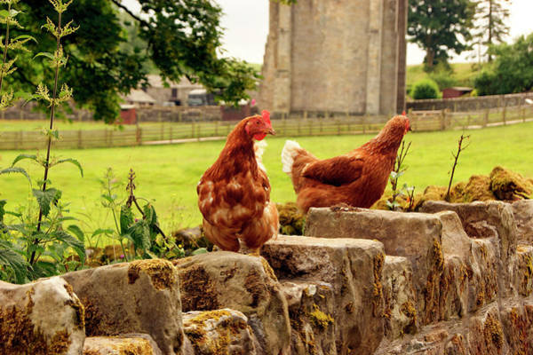 Photograph - Cumbria,  Shap Abbey, Two Chickens. by Lachlan Main
