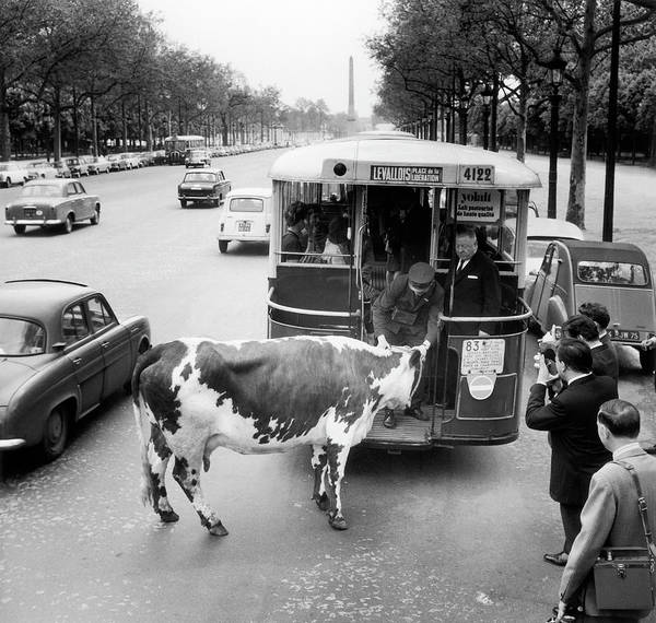 Cow Photograph - Curiosity 1966 An Urban Cow by Keystone-france