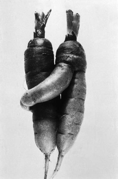 Switzerland Photograph - Curiosity  Lovely Carrots by Keystone-france