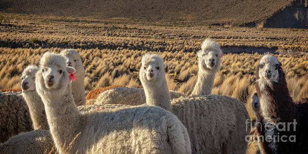 Wall Art - Photograph - Curious Alpacas by Delphimages Photo Creations