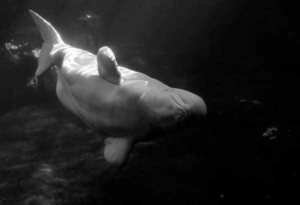 Photograph - Curious Beluga by Anthony Jones
