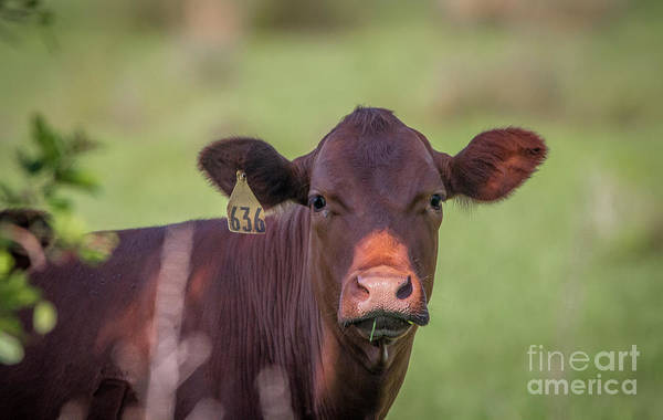Photograph - Curious Cow #636 by Tom Claud