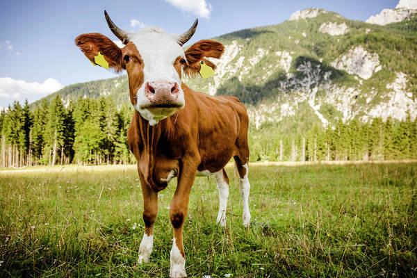 Friuli Photograph - Curious Cow by Mauro grigollo