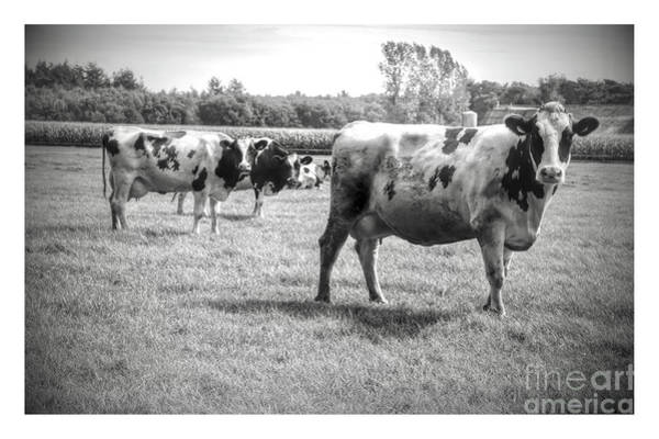 Photograph - Curious Cows Black And White With White Border by Carol Groenen