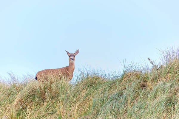 Oregon Wildlife Wall Art - Photograph - Curious Deer by Brian Knott Photography
