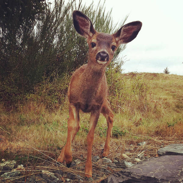 Fawn Photograph - Curious Deer by Kevinruss