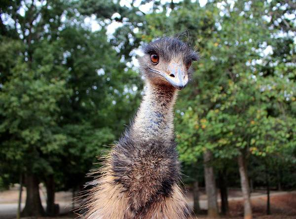 Photograph - Curious Emu by Cynthia Guinn