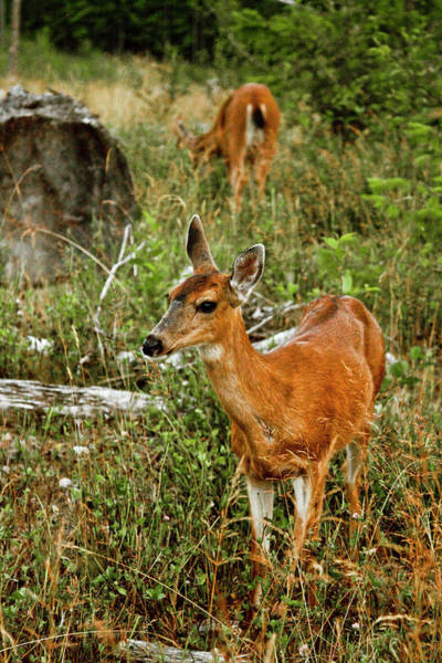 Fawn Photograph - Curious Fawn In Grassy Meadow by Christopher Kimmel
