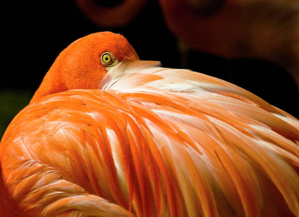 Staring Photograph - Curious Flamingo Staring Me Down by Photo By Alan Shapiro