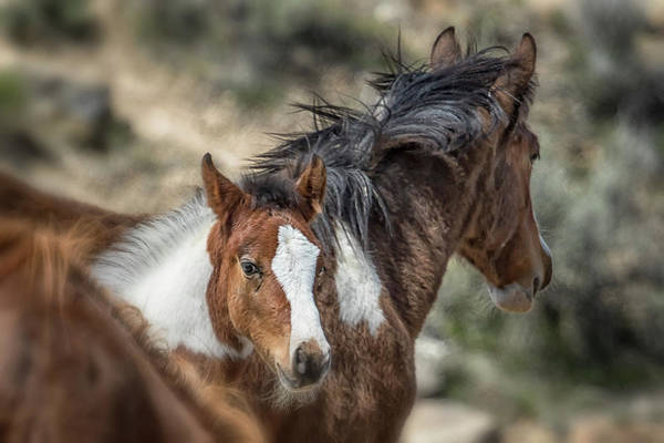 Photograph - Curious Foal - South Steens Mustangs by Belinda Greb