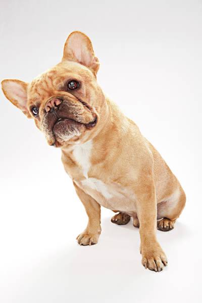 French Bulldog Photograph - Curious French Bulldog Sitting by Evan Kafka