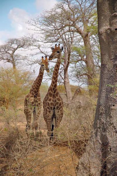 Photograph - Curious Giraffes  by Mark Duehmig