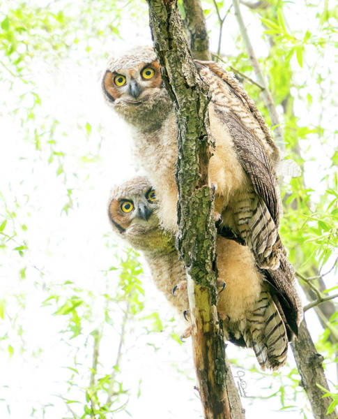 Photograph - Curious Great Horned Owl Babies by Judi Dressler
