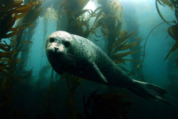 Underwater Camera Photograph - Curious Harbor Seal At Anacapa Island by Douglas Klug