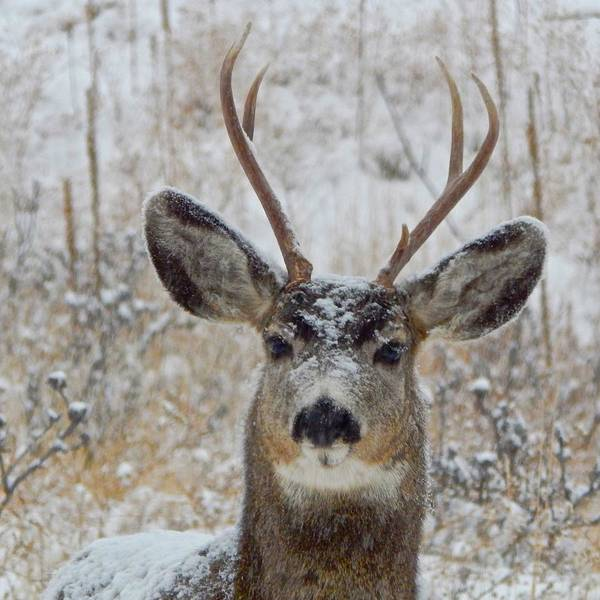 Photograph - Curious Mule Deer by Dan Miller