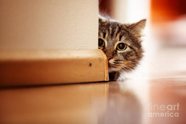 Featured Wall Art - Photograph - Curious Norwegian Forest Cat Looking by Joop Snijder Photography