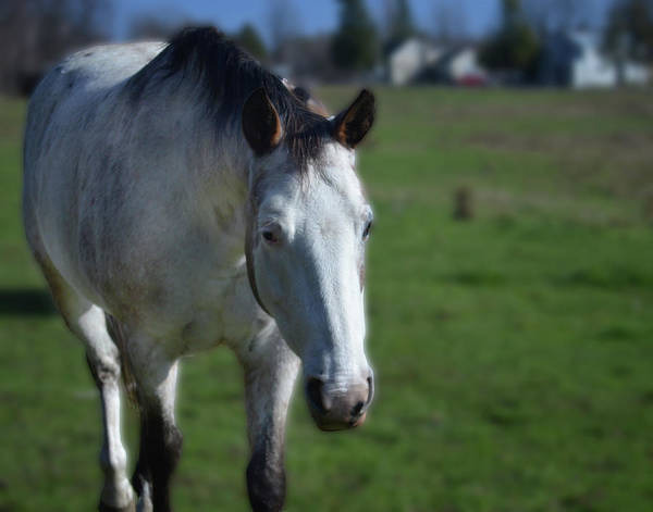 Photograph - Curious Paint Mare by Maggy Marsh