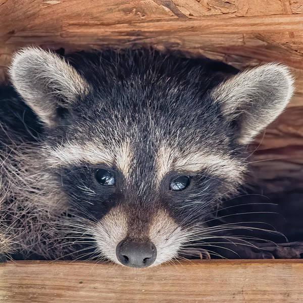 Wall Art - Photograph - Curious Raccoon Youngster by Morris Finkelstein