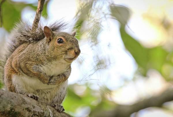 South Carolina Photograph - Curious Squirrel by Daniela Duncan
