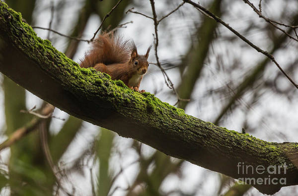 Photograph - Curious Squirrel by Eva Lechner