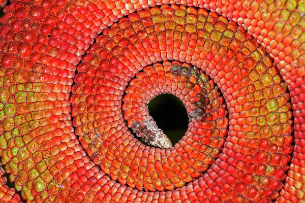 Wall Art - Photograph - Curled Circular Pattern Of Red Scales by Adam Jones