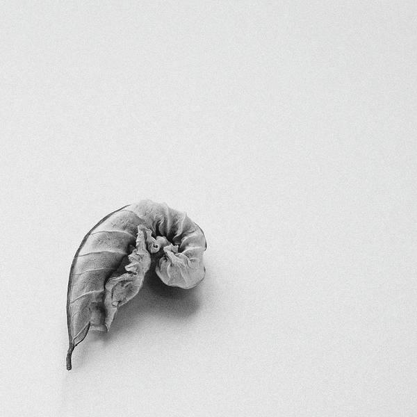 Curled Leaf - Fine Art Photograph Art Print