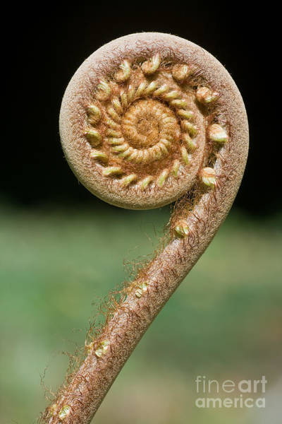 Wall Art - Photograph - Curled Young Fern by Kurt g