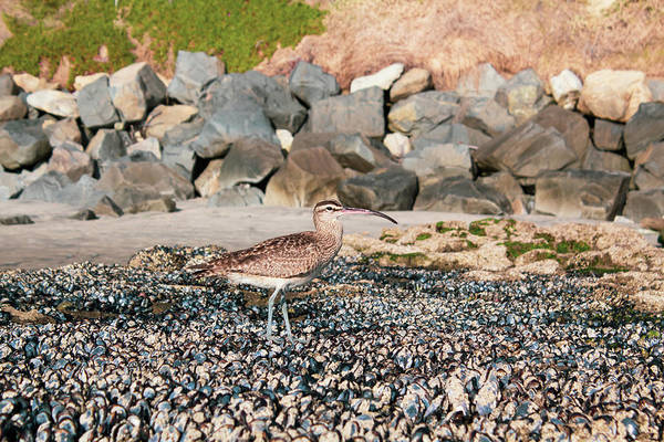 Photograph - Curlew by Alison Frank